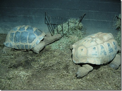 Reptileland Tortoises Eating Straw